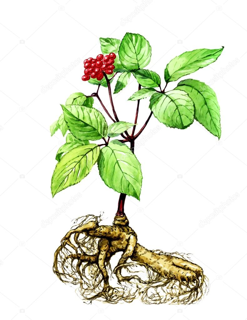 Fruits and leaves of ginseng. Botany