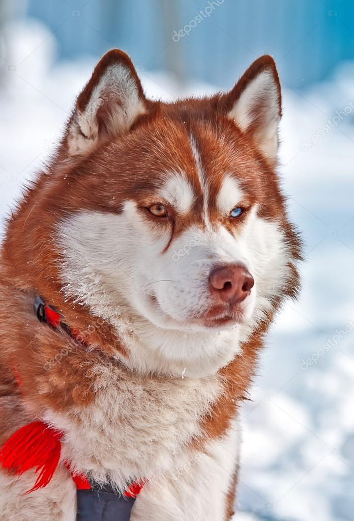 Portrait Of Siberian Orange Husky In Winter Stock Photo