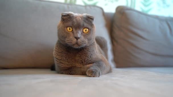 Hravá šedá kočka Skotský záhyb sedí na pohovce obývacího pokoje a hraje si s provázkem