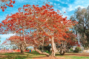 utiful natural background with a blooming tree with red flowers, Los Angeles, Calfiornia