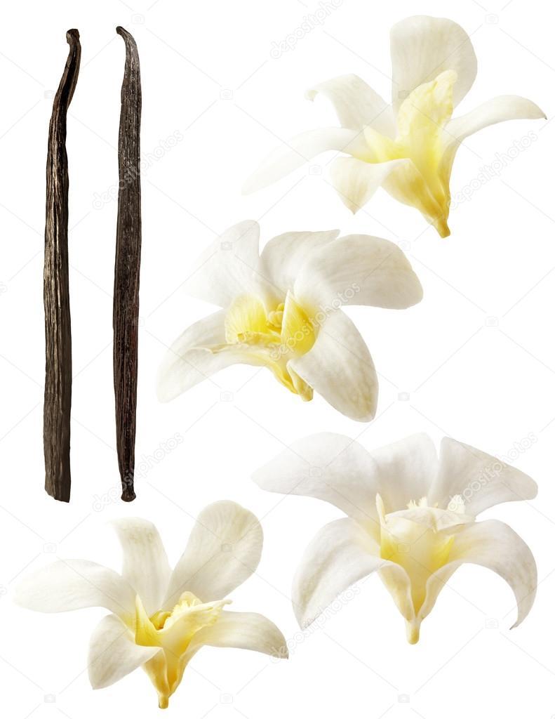 Vanilla flowers on white background. Aromatic, fresh vanila flower yellow and white.