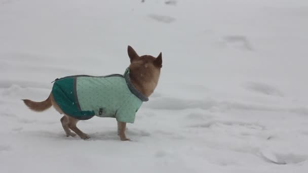 Čivava na zimní den - 2