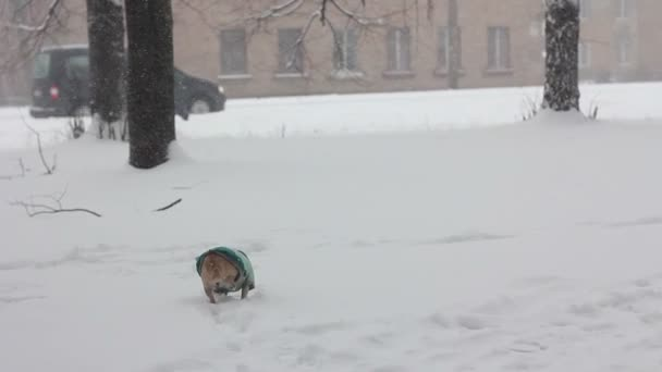 Čivava na zimní den - 3