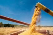 čas sklizně pšenice