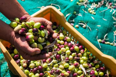 Olive picking time