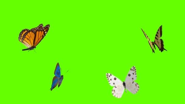 Barevné motýl létání na zelené obrazovce matné pozadí 4k animace stock záběry. 3D Motýl Stock videa.