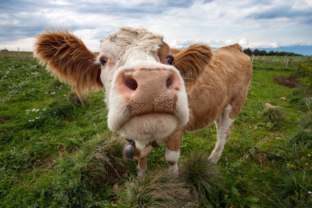 Коровы веселые фото