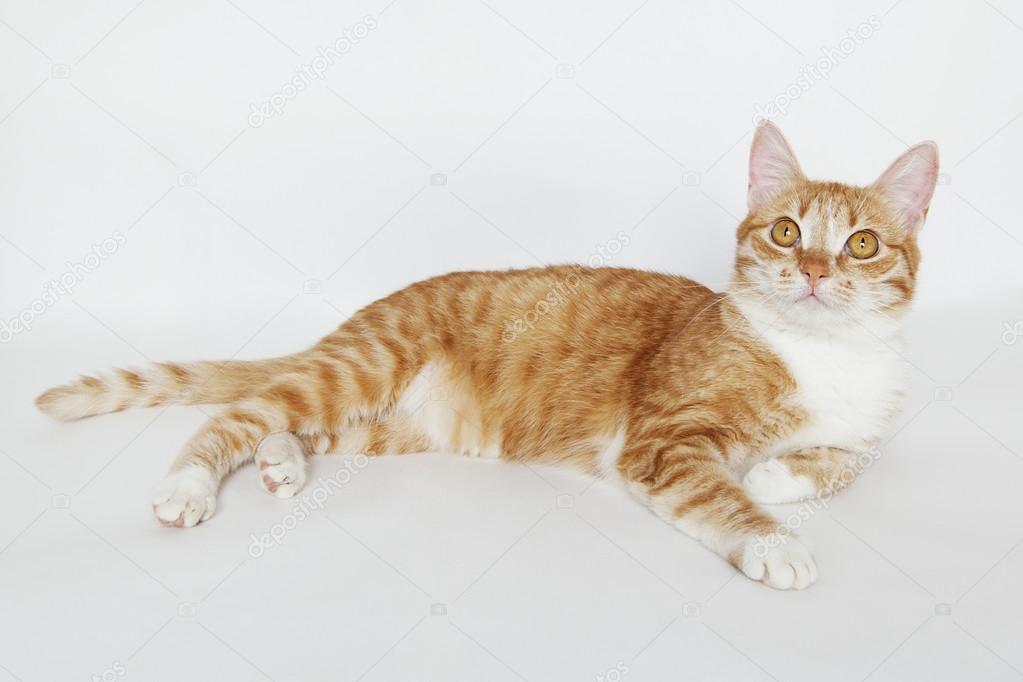Rudy Pręgowany Kot Zdjęcie Stockowe Helenemoon 100129524