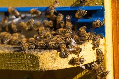 Beehive. Macro shot of bees swarming on a honeycomb