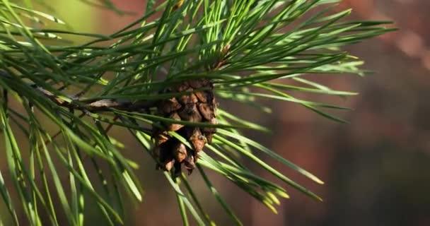 Érett fenyőtobozok faágak erdei napfényén. Karácsonyi és téli koncepció.