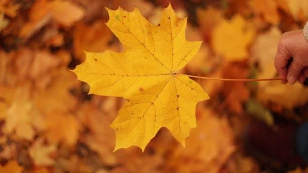 Őszi sárga levél juhar a nő kezében őszi erdőben