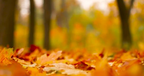 Pád zanechává přirozené pozadí. Krásná podzimní krajina se žlutými javory a sluncem