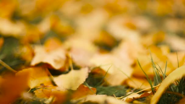 Colorful bright yellow fallen leaves on green grass background
