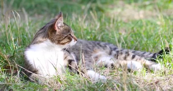 Portrét uhlazené kočky odpočívající v relaxaci na zelené trávě hledící přímo do kamery v zahradě