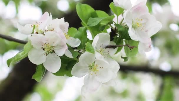 Gyönyörű almafavirág tavasszal. Homályos fókusz, levegő virágok háttér.
