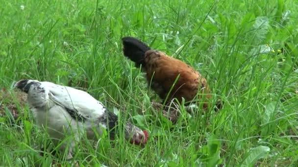 Gallo e gallina di razza russa crestato