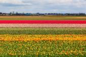 Tulipán pole poblíž lisse, Nizozemsko
