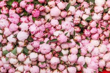Sea of peony flowers