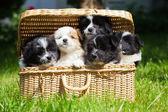 Öt aranyos Elo kiskutya ül a kosárban