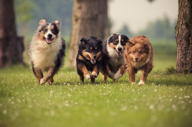Four Australian Shepherd dogs running on the meadow