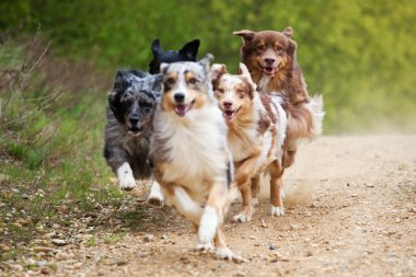 Group of running Australian Shepherd dogs