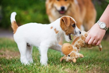 Hand of a girl giving a toy to a Parson Russell Terrier puppy