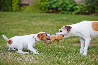 Two Parson Russell Terrier, a puppy and an adult dog contesting for a toy