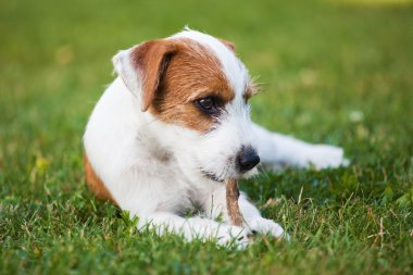 Cute Parson Russell Terrier puppy nibbling at a dog treat