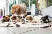 Aranyos alvó élő kutyák