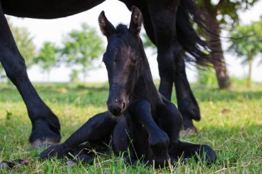 Friesian foal lying under the mother