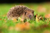 Cute hedgehog on an autumnal lawn