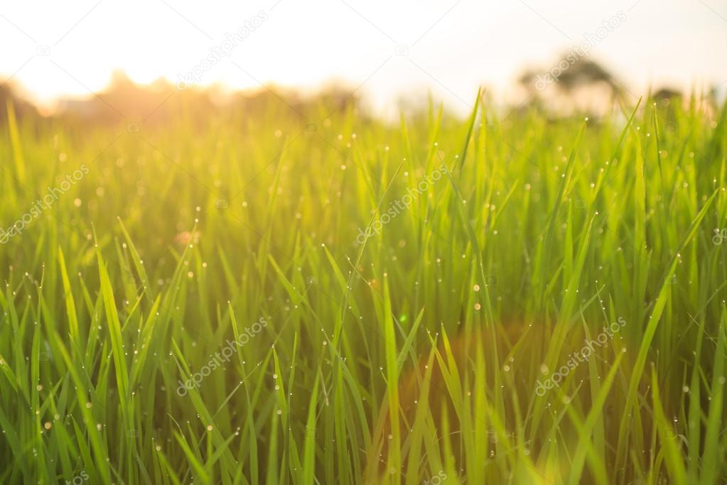 A green organic rice field, in middle part of Thailand with fresh, lovely, small dew drops in late summer afternoon during sunset, will soon be the one of the world most healthiest food