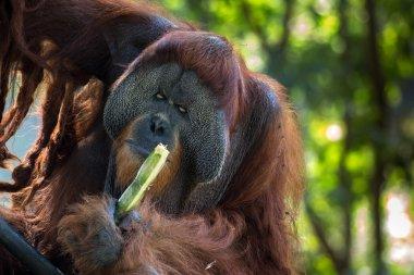 The Bornean orangutan