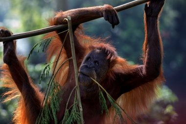 The Bornean orangutan