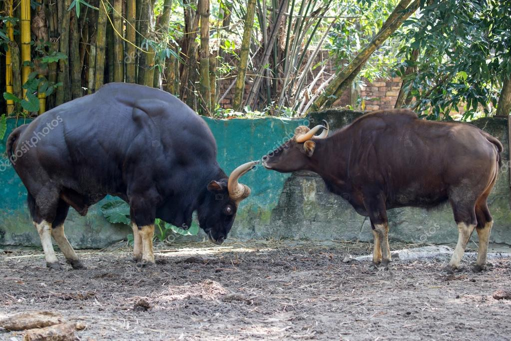 Two large muscular bulls