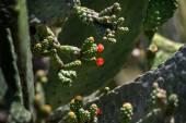 Kaktusz Opuntia közelről