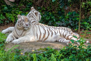 White tigers in nature
