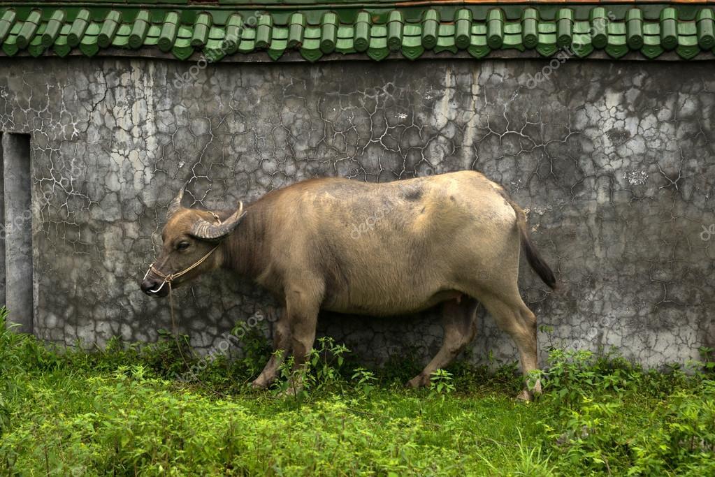 Water buffalo near wall