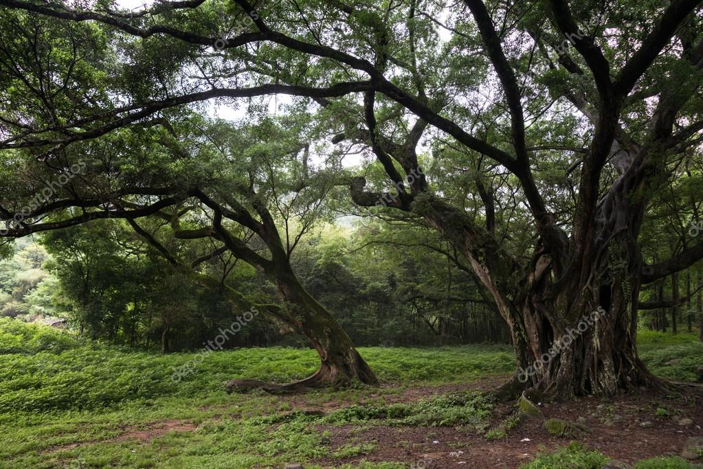 old trees in Meadow