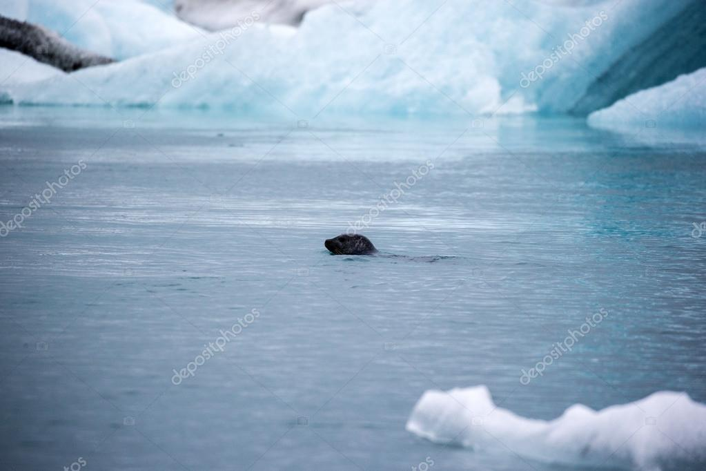 seal swimming in cold water