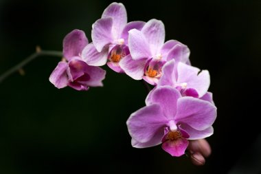 Orchid flower blooming