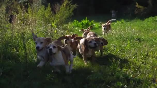 Flock of beautiful dogs will run on grass on sunny day. slow moving.