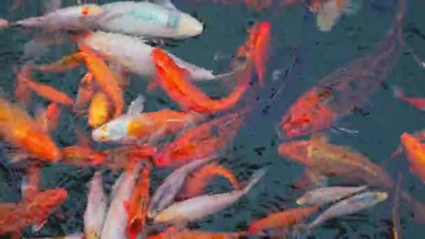 Rozmazané kapry koi plavou pod vodou v jezírku. Úžasná mnohobarevná ryba, symbol Japonska. Japonská ryba Koi v jezírku. Vysoce kvalitní záběry rozlišení 4k