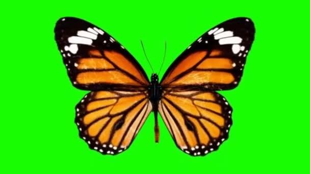 Fluttering butterfly green screen motion graphics