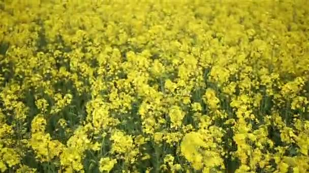 Canola field. Slow motion
