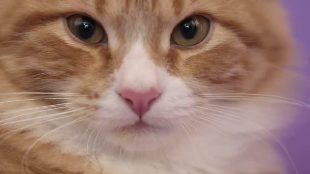 Siberian breed cat on a purple background. SESSION KEYWORD: uzhurskycats