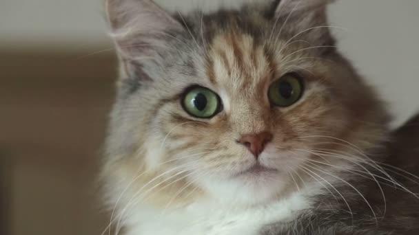 Siberian breed cat on a gray background. SESSION KEYWORD: uzhurskycats
