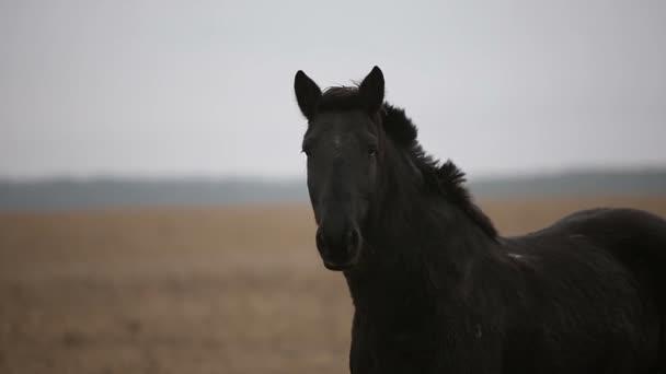 Einsam verwundetes schwarzes Pferd in einem herbstlichen Feld.