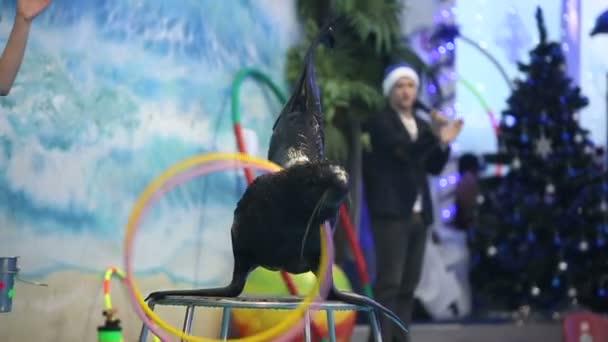 Medvefóka megjelenítése a delfinárium, oktató. Lassú mozgás
