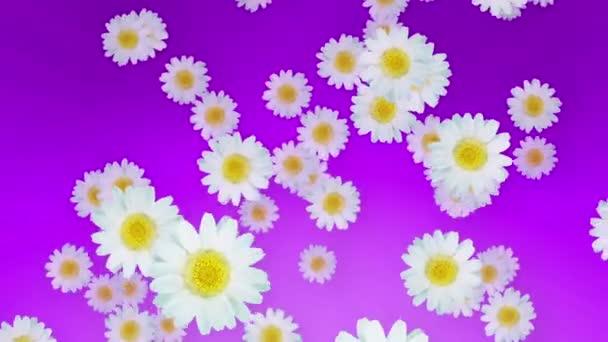 Jaro léto sedmikrásky fialová